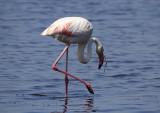 FlamingoGreater Flamingo(Phoenicopterus roseus)