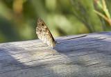 SvingelgräsfjärilWall Brown(Lasiommata megera)