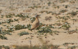 ÖkenlöpareCream-colored Courser(Cursorius cursor)