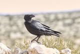KorpCommon Raven(Corvus corax)