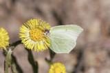 CitronfjärilBrimstone(Gonepteryx rhamni)