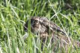 FälthareEuropean Hare (Lepus europaeus)
