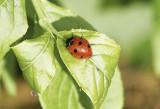 Sjuprickig nyckelpigaSevenspotted Ladybird(Coccinella septempunctata)