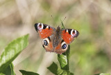 PåfågelögaPeacock Butterfly(Inachis io)