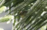 Kungsfågel (inermis)Goldcrest (Western Azores) Regulus regulus inermis