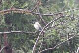 Azorisk domherreAzores BullfinchPyrrhula murina
