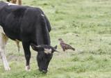 Ormvråk (Azores)Common Buzzard (Azores)Buteo buteo rothschildi