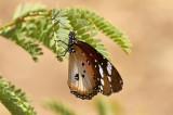 MonarkfjärilMonarchDanaus plexippus