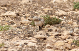 HärfågellärkaGreater Hoopoe-LarkAlaemon alaudipes