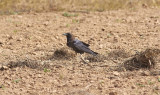 ÖkenkorpBrown-necked RavenCorvus ruficollis