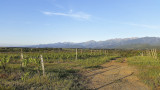Just outside Aghion (Corsica), the vineyard where one can find Californian Quail