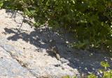 StensångareSulphur-bellied WarblerPhylloscopus griseolus
