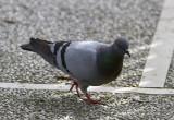 TamduvaRock PigeonColumba livia
