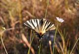 SeglarfjärilScarce SwallowtailIphiclides podalirius