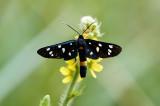 Nine-spottedAmata phegea