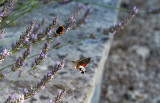 Större dagsvärmareHummingbird Hawk-mothMacroglossum stellatarum