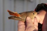 RödstjärtCommon RedstartPhoenicurus phoenicurus