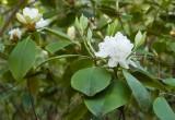 Carolina Rhododendron 2