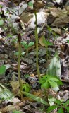 Puttyroot Orchid 1