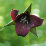 Southern Red Trillium 2