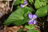 Bi-color Violet 3