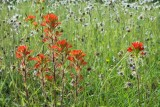 Indian Paintbrush 3