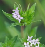 Field Madder  aka Spurwort
