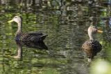Mottled Duck 1