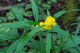 Goldenrod 3