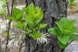 Fringe Tree 3