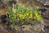 Horned Bladderwort 1