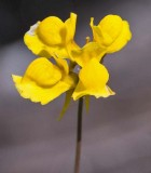Horned Bladderwort 2