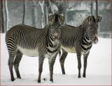 Grevys Zebra.
