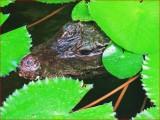Dwarf crocodile.
