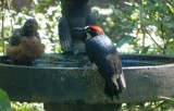 Woodpecker Bathtime