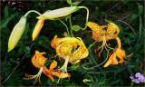Leopard Lily Leelas