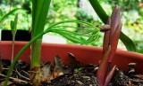 Pine Seed Rooting