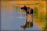 Moose in Fall Reflection