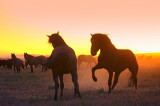 Wild Horses of the High Desert