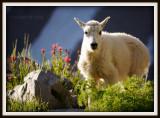 Baby Mountain Goat.