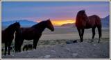 Desert Mustangs at Sunset.
