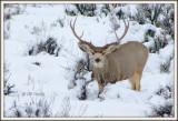 Big 3 point buck in snow