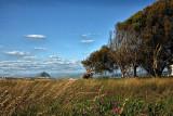 Grasses of Los Osos Bay and Morro Rock