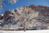 Zion Lodge and Fremont Cottonwood Tree