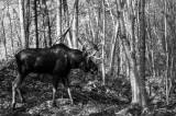 Orignal -- Moose
