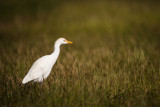 Héron garde-boeuf -- Cattle Egret