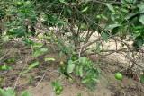 A NATUREZA NO SITIO: Limoes IMG_1674.JPG