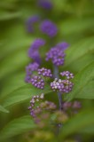 Lilac Fruit