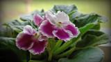 African Violet low res.jpg