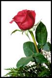 Rose with stroke.jpg